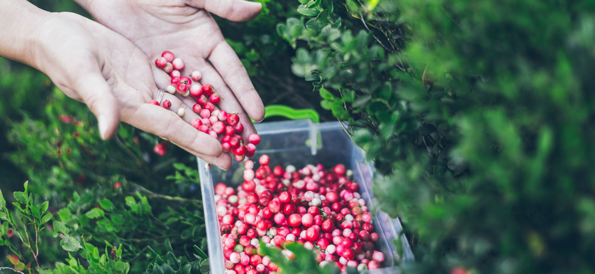Picking lingonberry. Woman gathering wild berries.